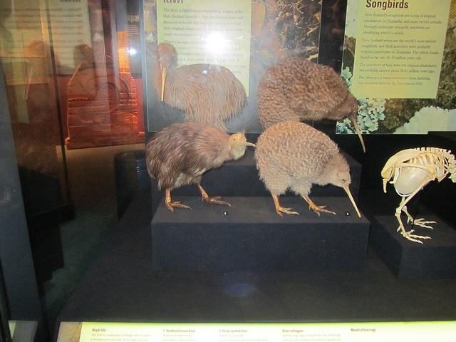 Kiwis en el museo de Nueva Zelanda en Wellington