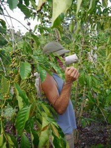 Cafetal en Cuba